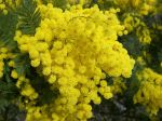 March_8_mimosa_flower